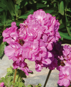 Geraniums love cooler spring weather and do well in containers.