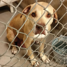 Sweet Hazel from Pima Shelter waits for a second chance.