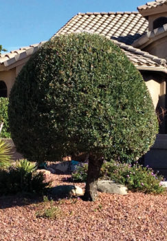 Lollipop trees and other poor pruning practices