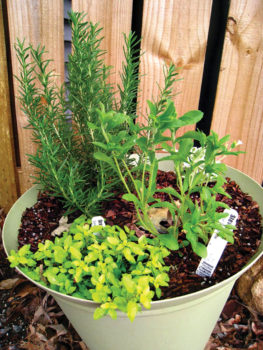 Herbs grown in a container
