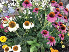 A red coneflower turns white and purple in the Grabell garden.