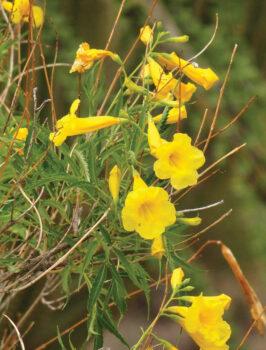 Tecoma Stans yellow flower found on the Picnic Rock hike (Photo courtesy of Kaori Hashimoto)