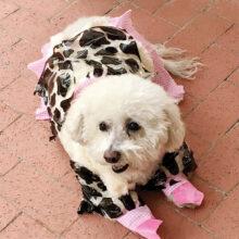 Annabelle as a cow