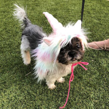 Chewy as a unicorn